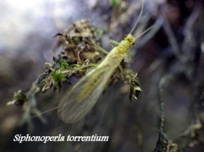 S.torrentium