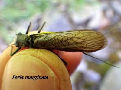 P.marginata